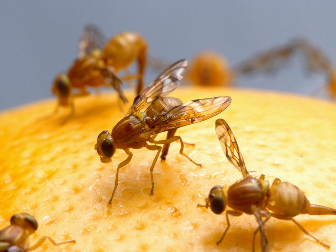 Fruit Flies Causes And Get Rid Of With Home Remedies