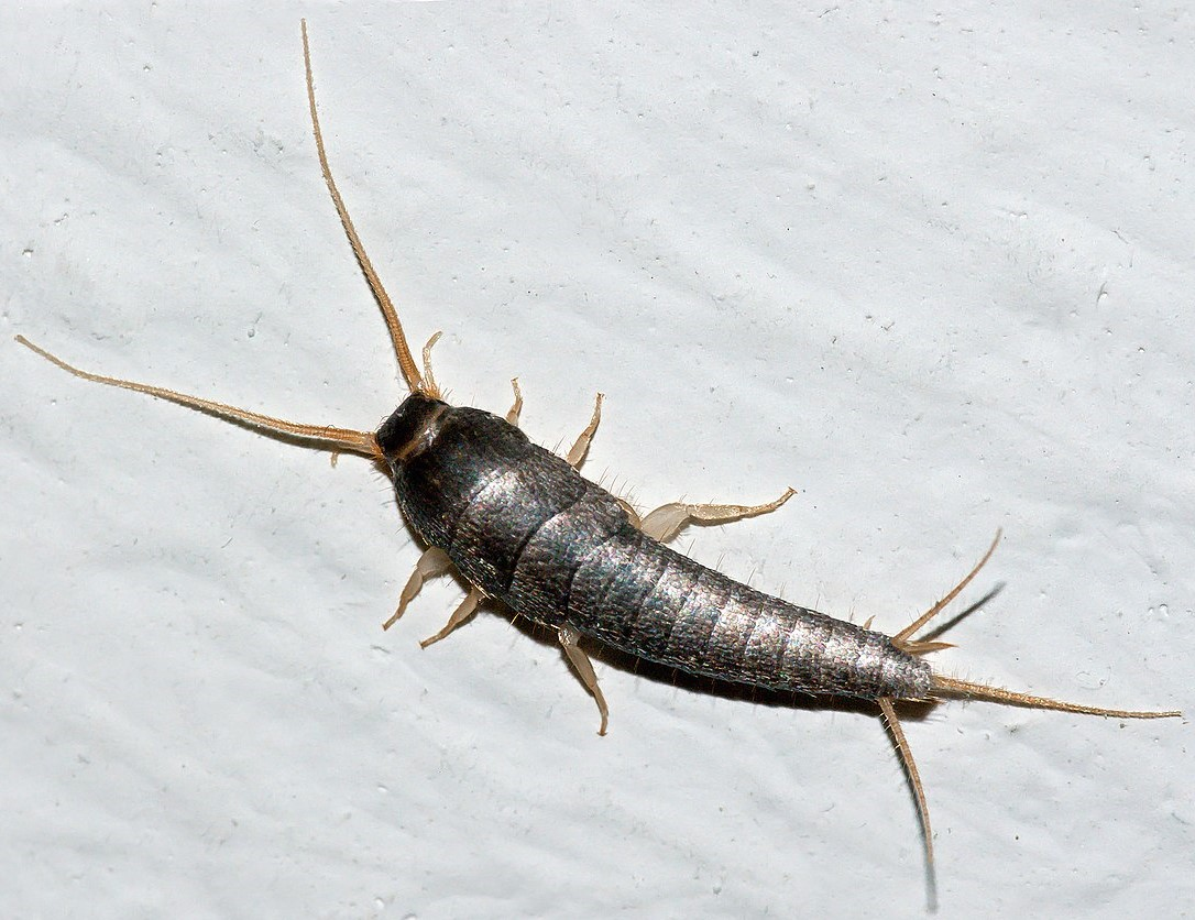How To Get Rid of Silverfish Home Remedies